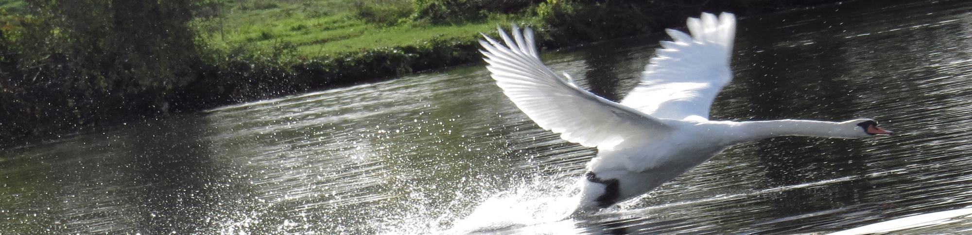 zwaan vliegt weg